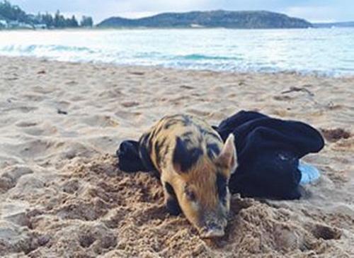 猪在看海图片