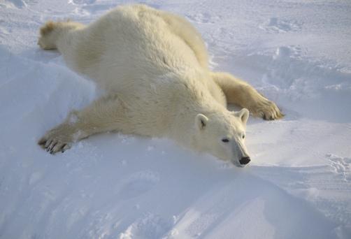 北极熊趴在薄冰上用肚腩滑行场面十分有趣