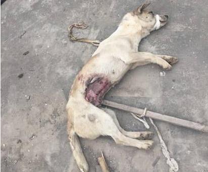 高校疑将狗做试验后抛弃 狗伤口流血不竭抽搐