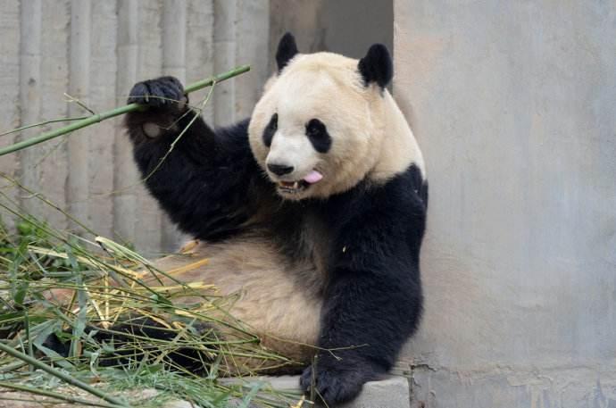 成都动物园园方也公布了这个老年熊猫的死讯