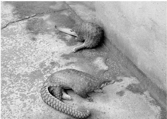 浙江最大野生动物贩卖案:最多一次交易穿山甲上千只