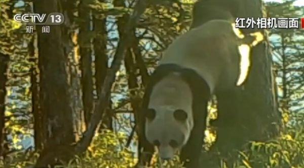 恒生指数期货开户怎么开四川崇州:红外相机拍到野生大熊猫标记行为