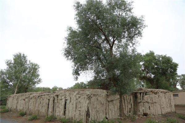 轮台gdp_新疆轮台县生态搬迁:塔河沿岸绿了新居村民富了