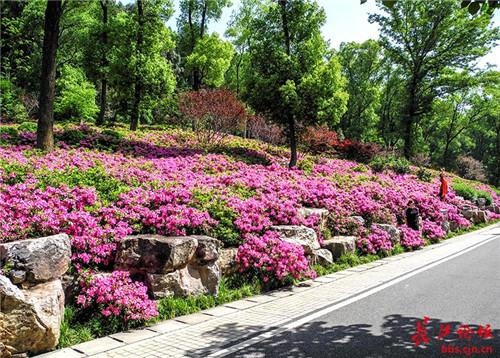 东湖磨山风景区杜鹃园里的杜鹃花开正盛,浅紫,紫红,粉红** 杜鹃花色彩