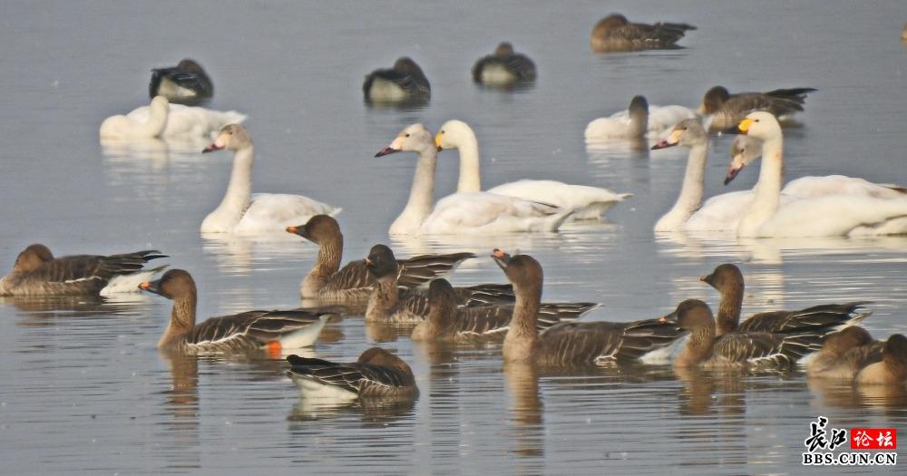 保护动物小天鹅