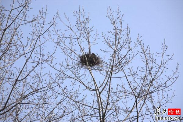 大树上一个鸟巢先前看到是喜鹊在上面的,这不现在成了斑鸠的巢了,这只