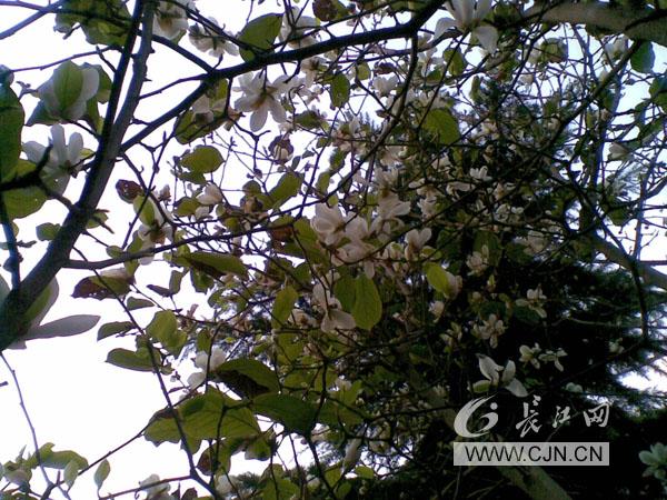 常规玉兰花是先开花后长叶,花期在春天2至3月,我认为是今年夏天高温