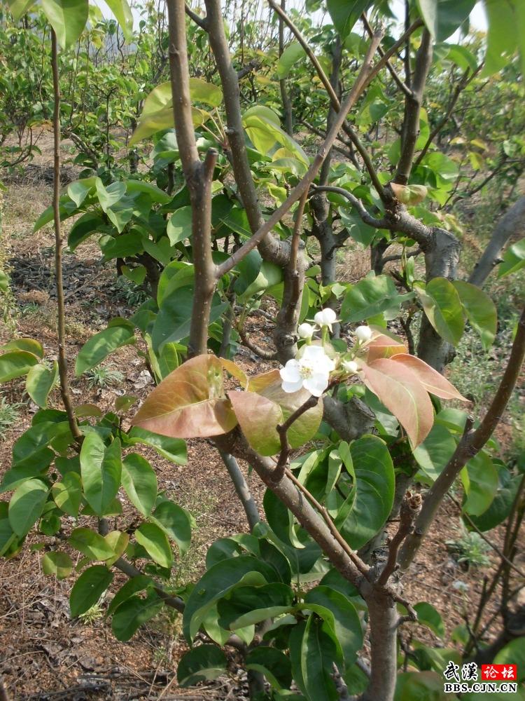 梨树开花结果的现象