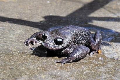恩施发现濒临灭绝的世界级珍稀动物胡子蛙