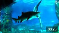 大鲨鱼吃小鲨鱼