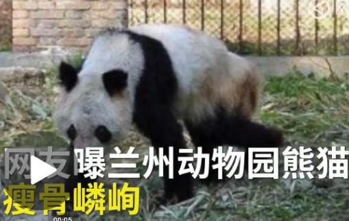熊猫瘦成皮包骨
