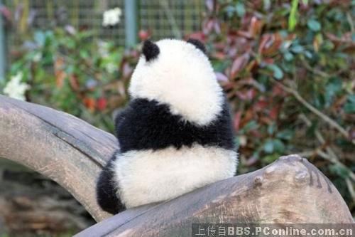 大熊猫的销魂背影