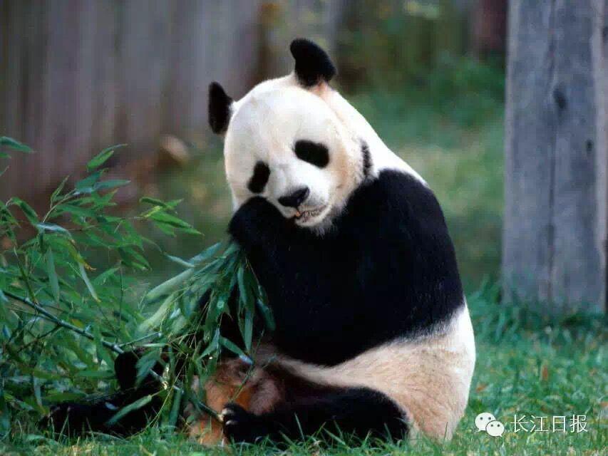 圆圆的脸颊,大大的黑眼圈,胖嘟嘟的身体,被称为世界上最可爱的动物之一。   大熊猫已在地球上生存了至少800万年,被誉为活化石和中国国宝,世界自然基金会的形象大使,是世界生物多样性保护的旗舰物种。   据第三次全国大熊猫野外种群调查,全世界野生大熊猫不足1600只,属于中国国家一级保护动物。   圆圆的脸颊,大大的黑眼圈,胖嘟嘟的身体,标志性的内八字的行走方式,也有解剖刀般锋利的爪子。是世界上最可爱的动物之一。   大熊猫已在地球上生存了至少800万年,被誉为活化石和中国国宝,世界自然基