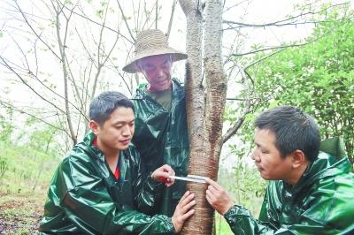 局驻村扶贫干部王平(右)和张宏(左)正在测量刘克解田中樱花树