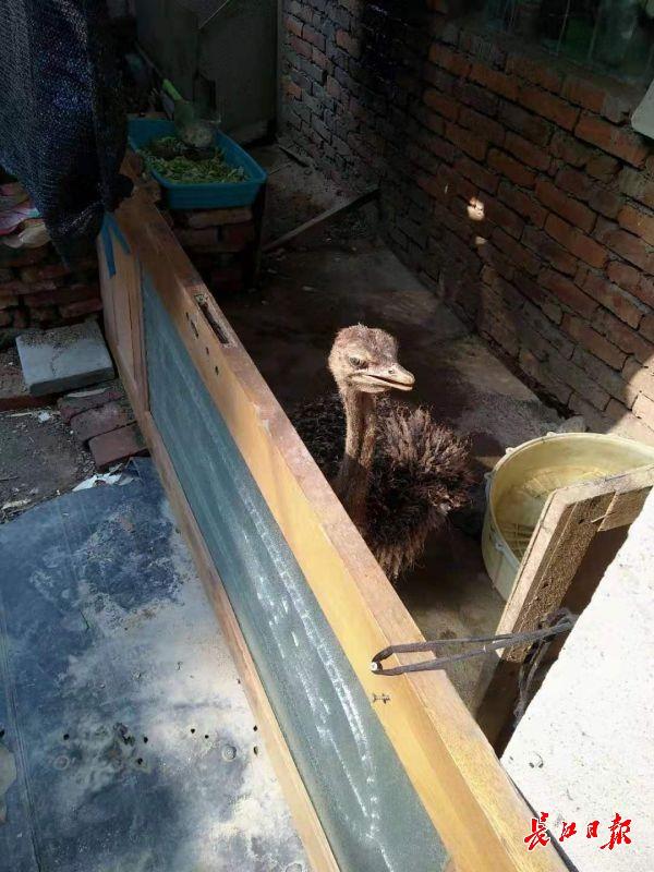 武汉一男子养鸵鸟当宠物,邻居:怕被踢到绕道走