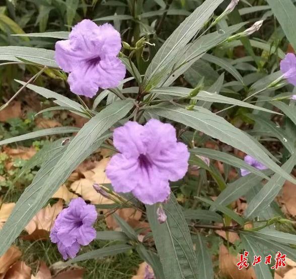 它每天都會開新花,沙石地中也能長,武漢馬鞍山公園能看到