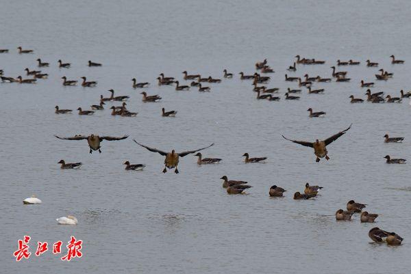 快来推荐你心目中的市鸟吧!武汉市市鸟评选启