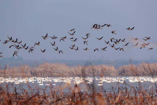 """8年前村民要赶鸟,如今村民邀请亲友来""""看天鹅"""",这里有一片宝藏湿地"""