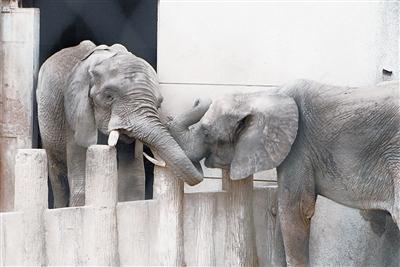 """武汉动物园两只非洲象隔着栏杆""""谈恋爱"""""""