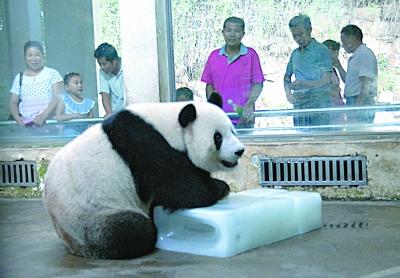 武汉动物园内大熊猫趴在冰上消暑