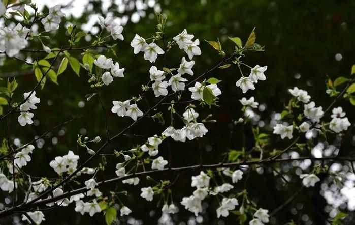 """这些""""从未见过的樱花"""" 有望绽放武汉街头"""