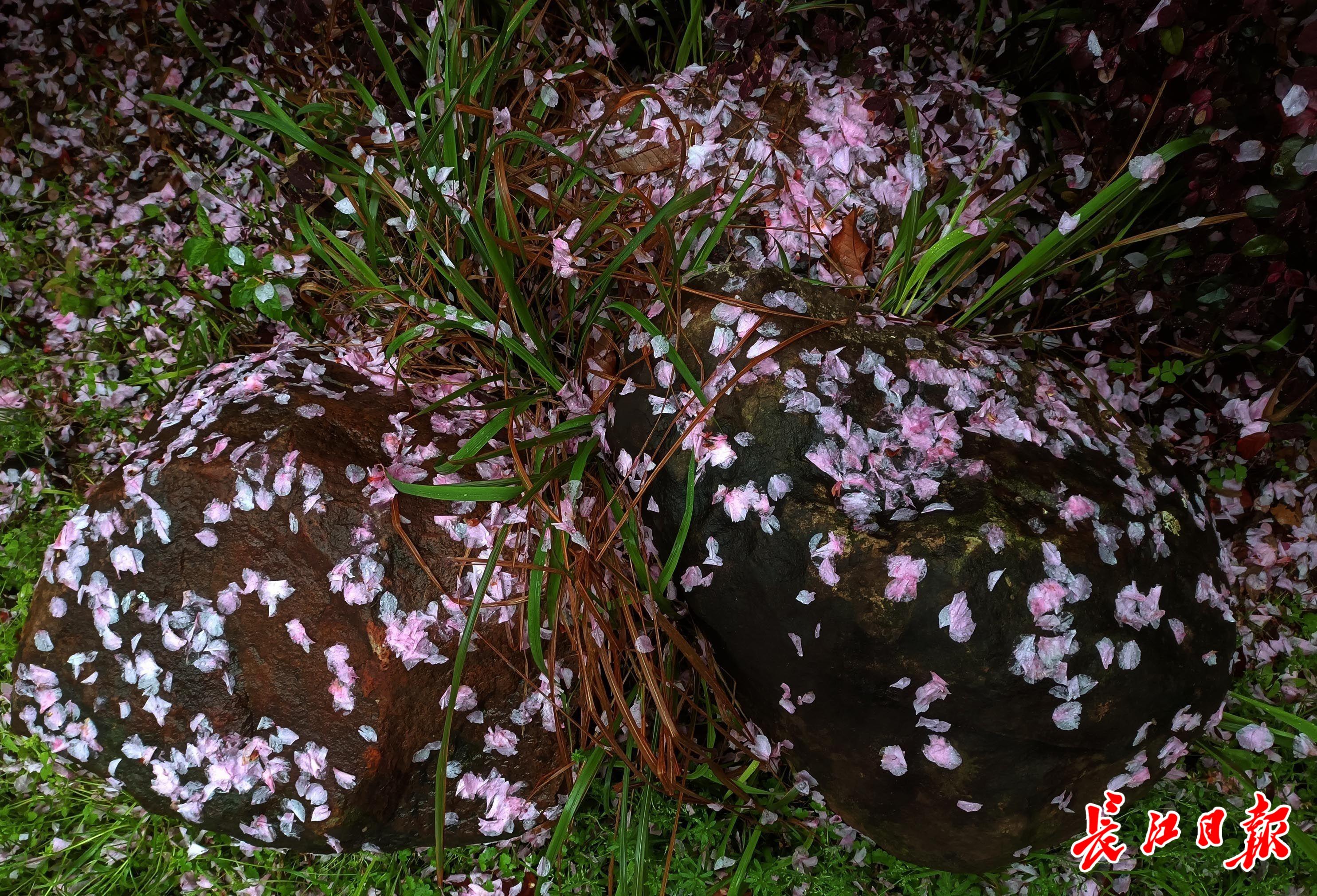 落樱辞树随雨流
