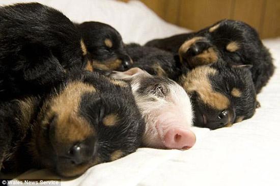 真实可爱小猪仔图片