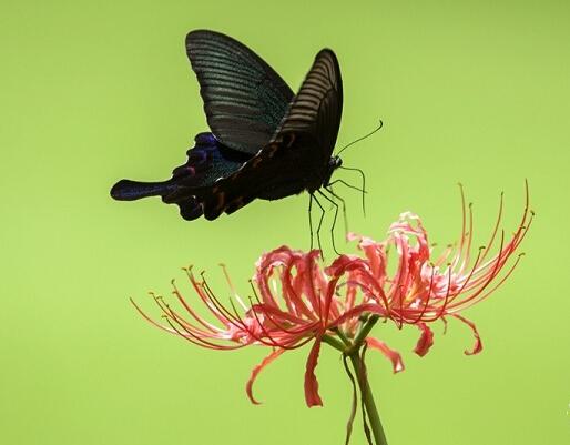 蝶逐彼岸花