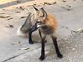 武大偶遇小狐狸