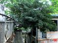 昙华林奇特之树
