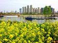 汉江湾的油菜花