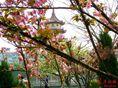 宝岛公园的樱花开