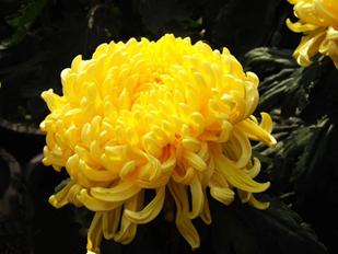七绝·咏菊