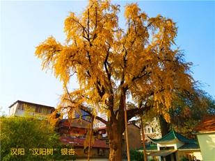 武汉三镇银杏