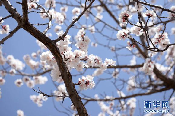 杏花盛开美如画