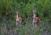 生态修复保坡鹿