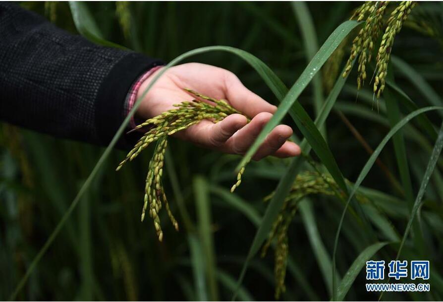 中科院推出高产水稻
